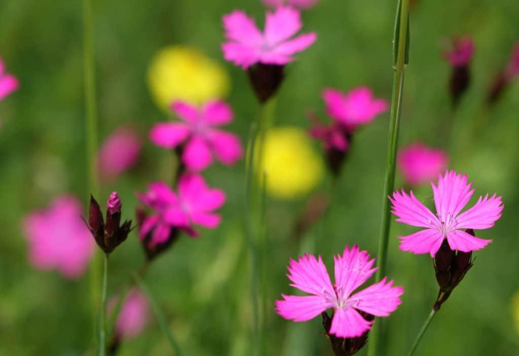 rosafarbende Blüten von Pflanzen auf einer Wiese